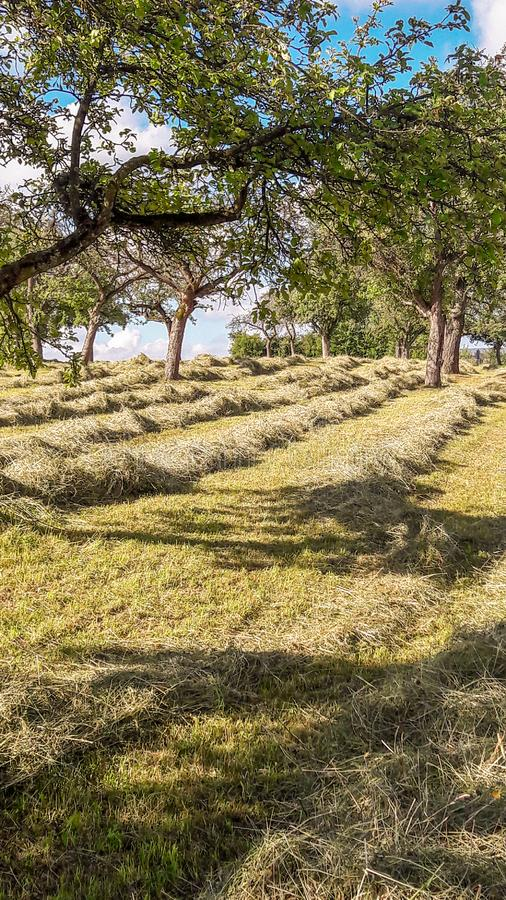 Rows of Hay in an Orchard. Beautiful orchard during the haying season is portrayed in this image stock photo