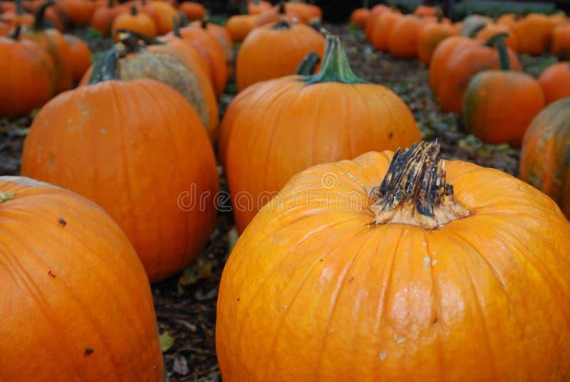 Rows of large orange pumpkins stock images