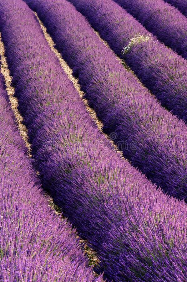 Rows of lavender stock image