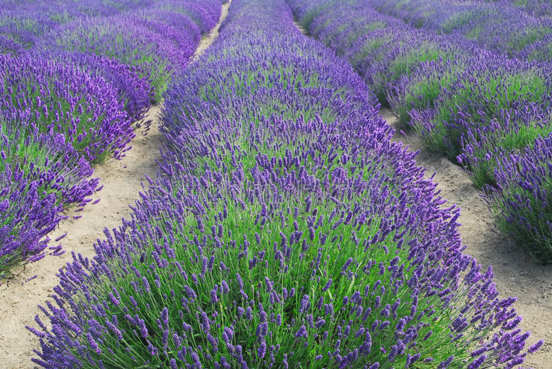 Download Rows of lavender stock image. Image of english, farmland - 5851637