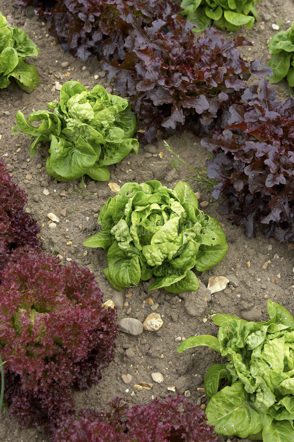 Rows of lettuce stock image