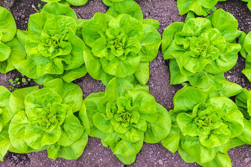 Rows Of Lettuce Growing On An Allotment Garden Stock Photo Image