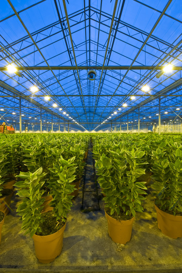 Rows of lilies in a glasshouse. Endless rows of potted lilies in a glasshouse, with a ventilator for climate control attached to one of the roof girders royalty free stock photo