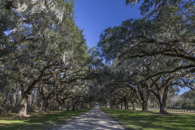 Rows of live oak trees along driveway stock photos