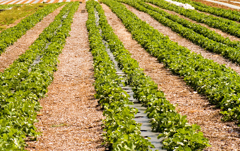 Rows of new strawberry plants royalty free stock photography