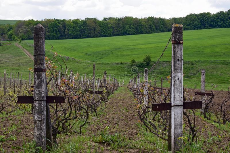Rows of old vineyard with concrete columns in early spring. Country road, green hilly meadow and forest in the distance. Blue sky royalty free stock photography