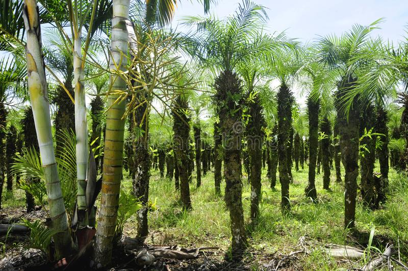 Rows of palm trees can be seen in Costa Rica`s agricultural areas. A palm tree crop grows in Grecia, Costa Rica royalty free stock photos