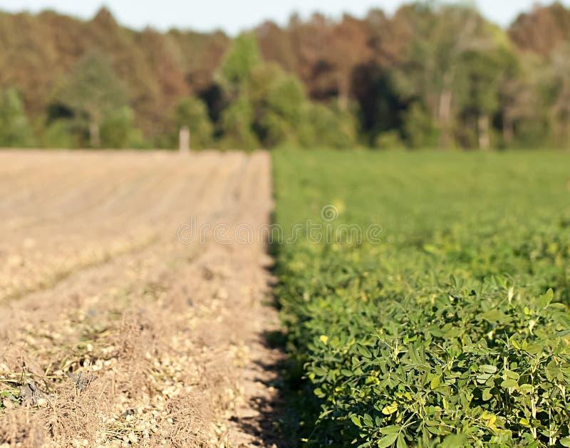 Rows of peanut crops