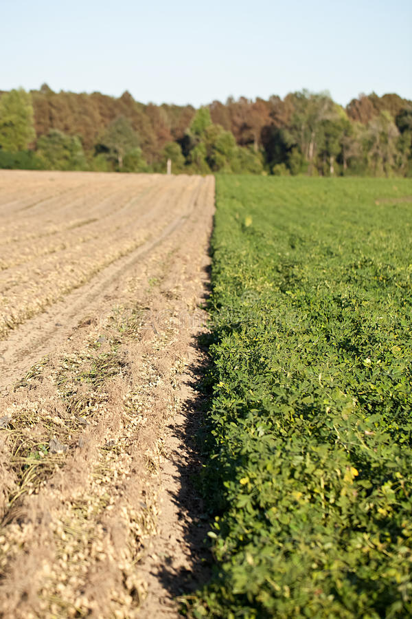 Download Rows Of Peanut Crops Royalty Free Stock Photo - Image: 24175705