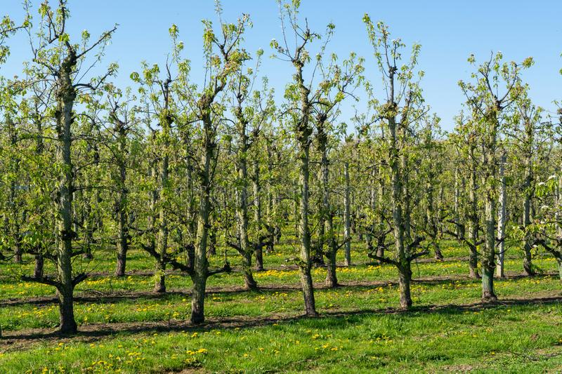 Rows of pear trees in orchard, fruit region Haspengouw in Belgium royalty free stock images