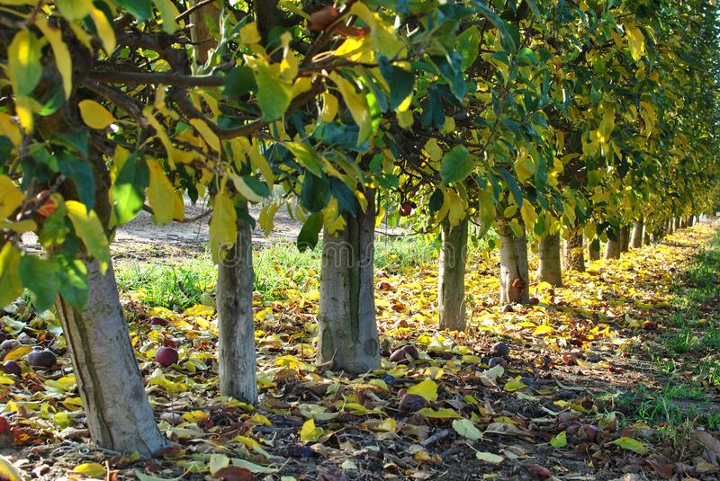 Rows of pear trees at sunrise. Autumn. Fallen yellow leaves. royalty free stock image