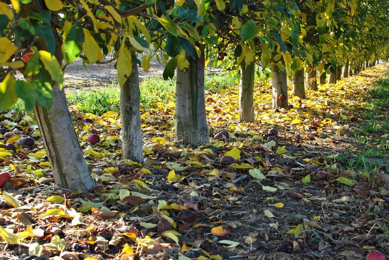 Rows of pear trees at sunrise. Autumn. Fallen yellow leaves. stock image