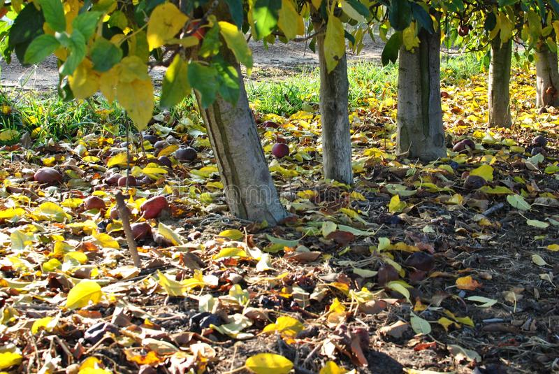 Rows of pear trees at sunrise. Autumn. Fallen yellow leaves. stock photos