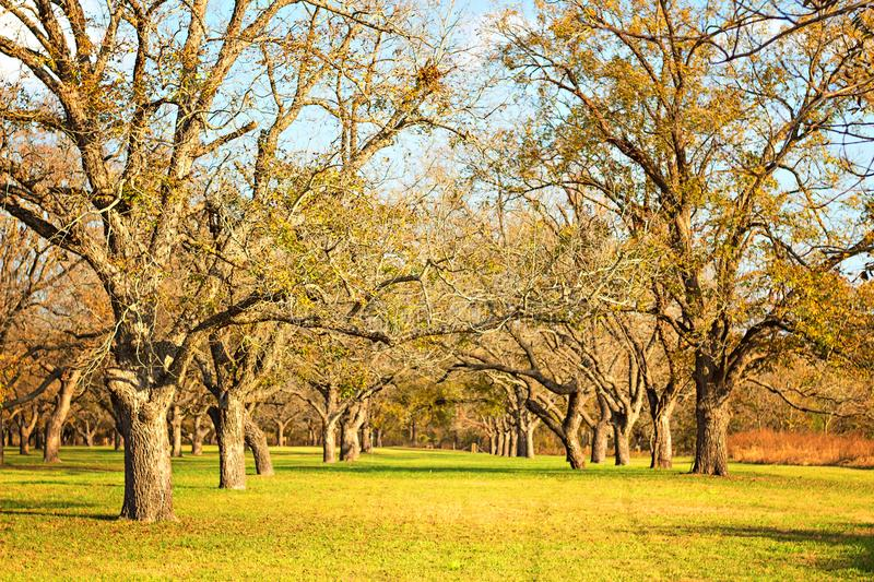 Berry springs pecan trees. Rows of pecan trees at berry springs park in the fall photo taken November 16, 2017 stock photos
