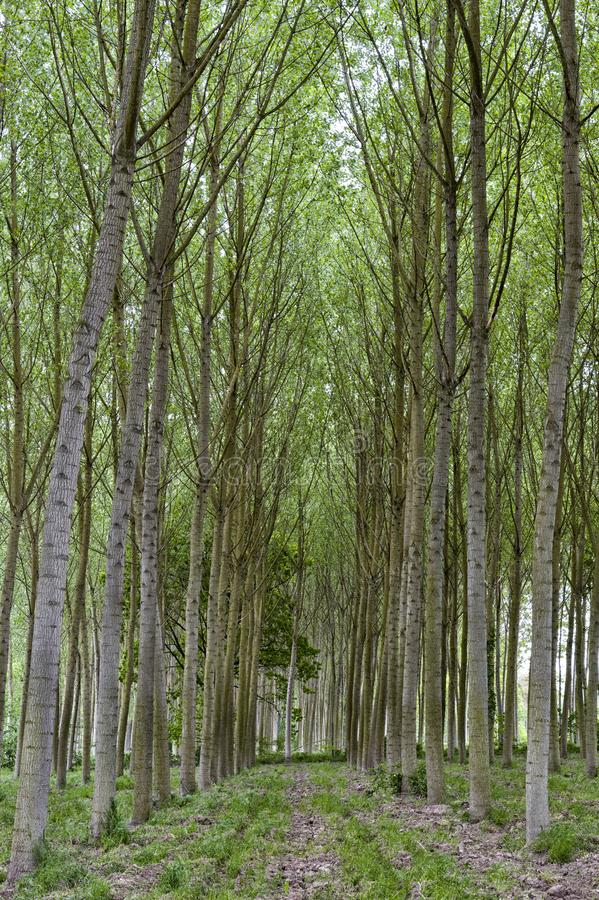 Rows of poplar trees in the countryside stock image