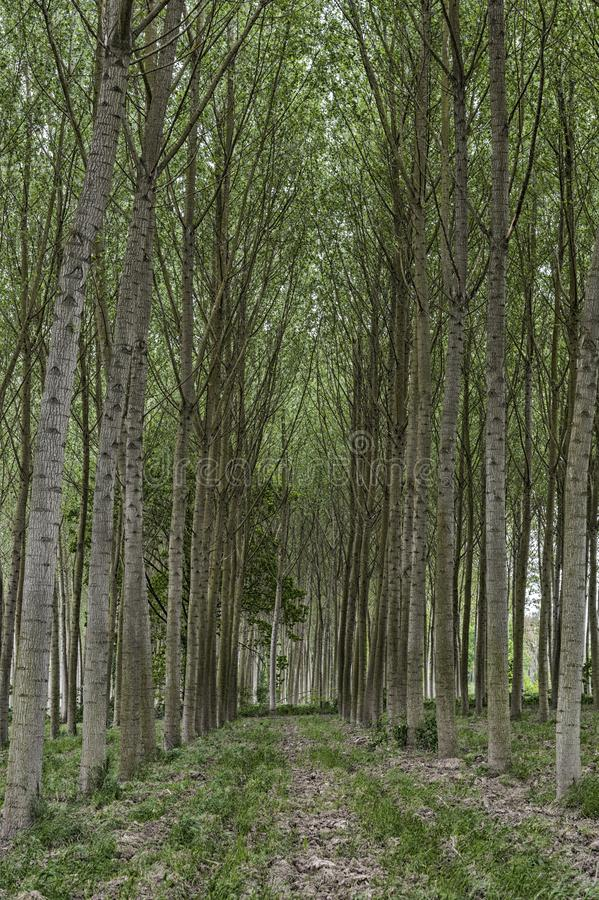 Rows of poplar trees in the countryside stock images