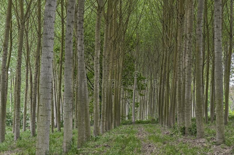 Rows of poplar trees in the countryside royalty free stock photo