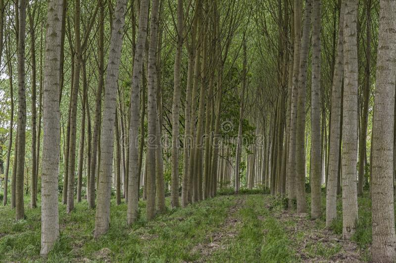 Rows of poplar trees in the countryside royalty free stock images