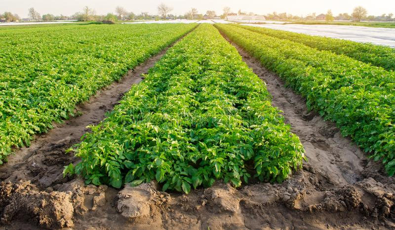 Rows of potatoes grow on the farm. Growing organic vegetables in the field. Farming. Agriculture. Selective focus.  stock photo