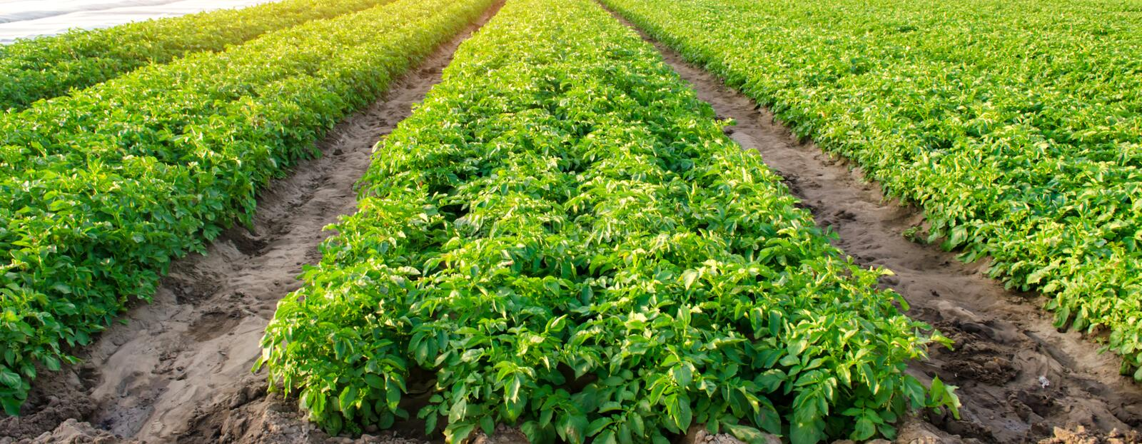 Rows of potatoes grow on the farm. Growing organic vegetables in the field. Farming. Agriculture. Selective focus.  royalty free stock photo