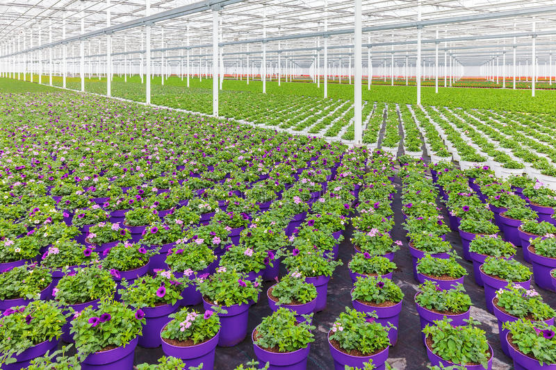 Rows of purple blooming violas in pots. In a Dutch greenhouse royalty free stock images