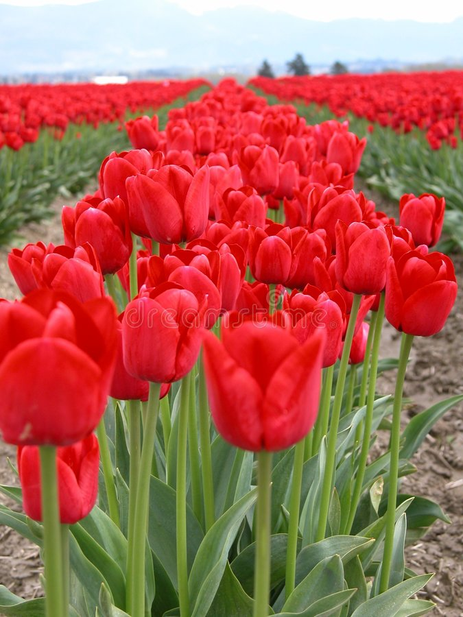 Rows of Red Tulips. Red Tulips as far as the eye can see royalty free stock photography