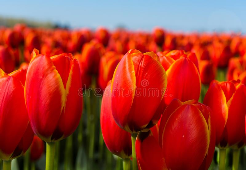 Rows of Red Tulips in Field Closeup Horizontal royalty free stock photo