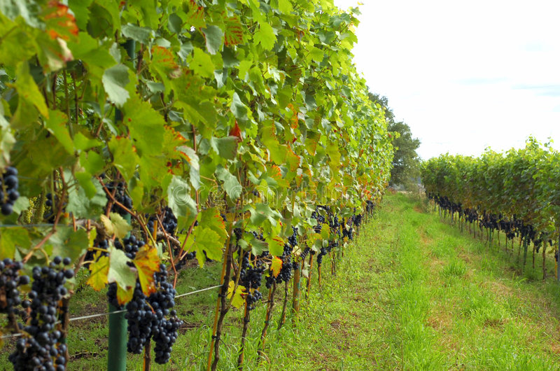 Rows of red wine grapes stock photography