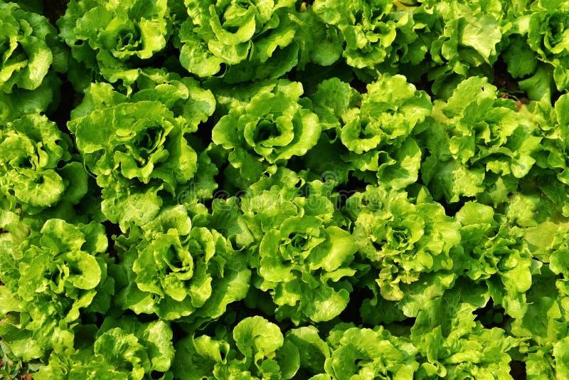 Rows of romaine lettuce. Green romaine lettuce in garden before harvest stock photos