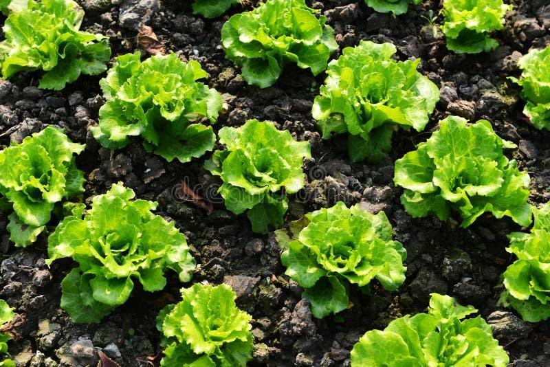 Rows of romaine lettuce. Green romaine lettuce in garden before harvest stock photo