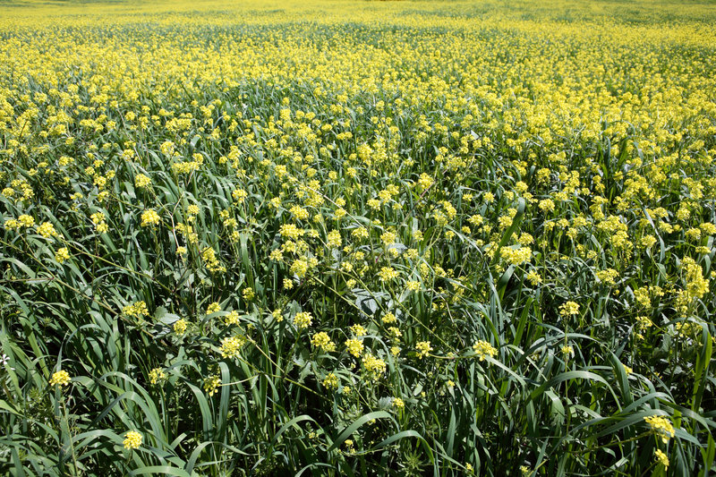 Download Rows And Rows Of Mustard Flowers Stock Image - Image: 1050419