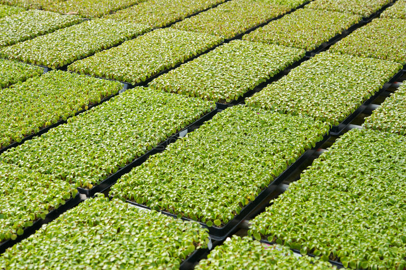 Rows of seedlings in a nursery