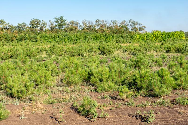 Rows of small bright pine trees at coniferous nursery garden. Growing young conifers at open air gardening plantation royalty free stock image