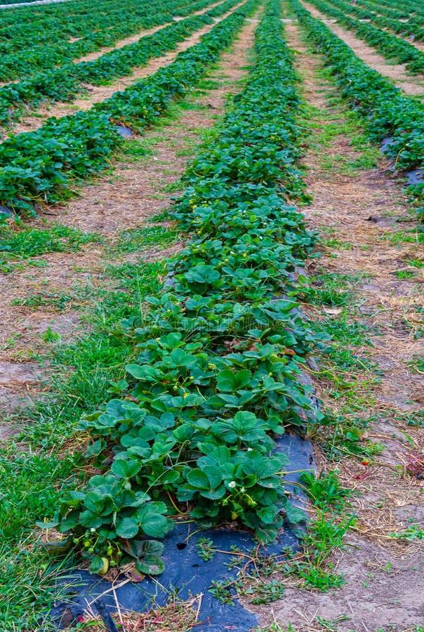 Rows of Strawberry bush in a farm stock photos