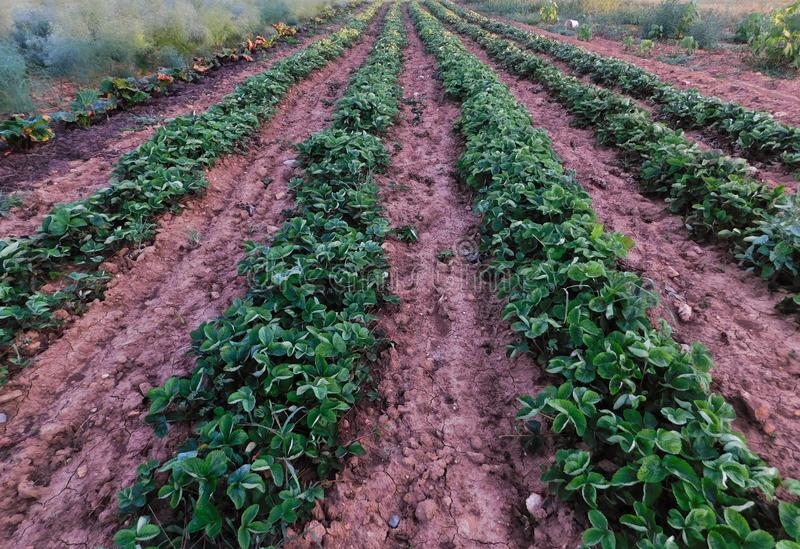 Rows of strawberry plants in an Amish garden. Early in the morning, in Lancaster County, Pennsylvania stock photos