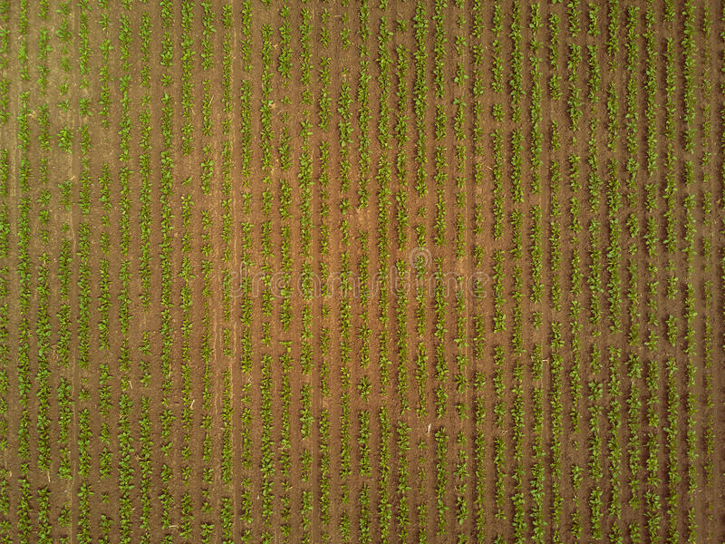 Rows of sugar beet plantation viewed from drone stock image