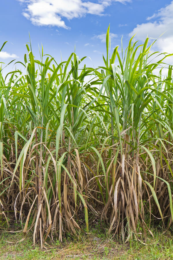 Rows of sugarcane in the field. Sugarcane field in blue sky and white cloud in Thailand royalty free stock photography