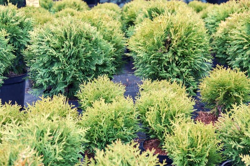 Thuja seedlings planted in flowerpots sold in outdoor garden nursery shop stock image