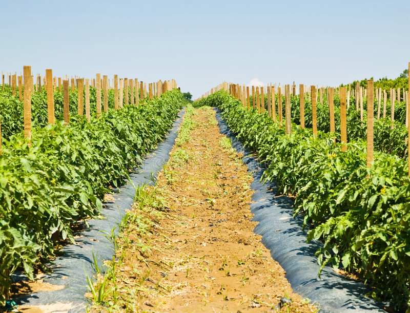Download Rows Of Tomato Plants On A Farm Stock Photo - Image of growing, pastoral: 5517954