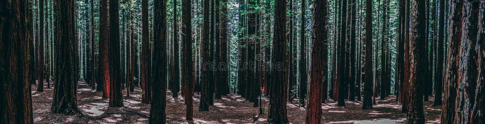 Rows of trees at the Redwood Forest Warburton in the Yarra Valley. Melbourne, Australia. Rows of trees at the Redwood Forest is a tourist Icon for nature lovers royalty free stock images