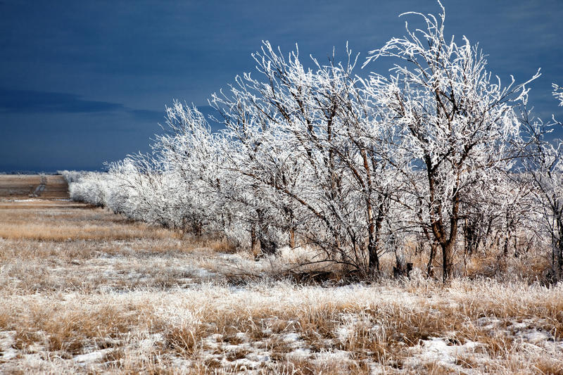 Download Rows of trees in winter stock image. Image of snow, overcast - 21593227