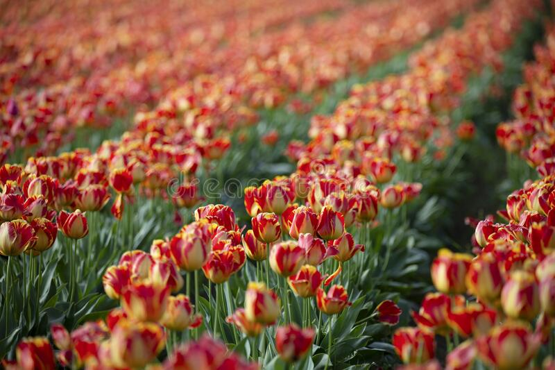 Rows of vibrant orange and yellow colored tulips with green stems/leaves, no sky, no people, daytime - Wooden Shoe Tulip Farm, Ore. Gon royalty free stock image