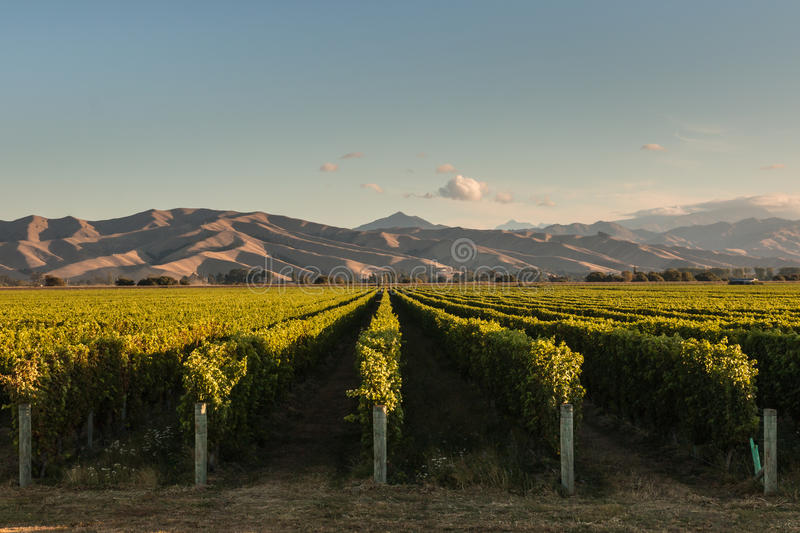 Rows of vine in vineyard at sunset stock photos