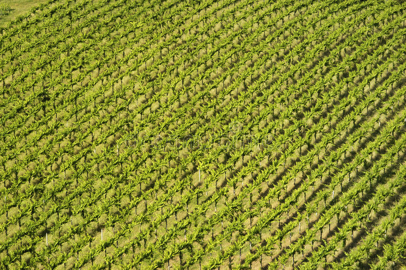 Rows of vines royalty free stock image