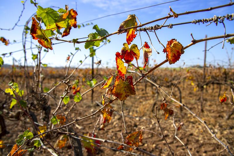 Rows of vines with colorful leaves of autumn vineyards close-up on a blurred background stock photo