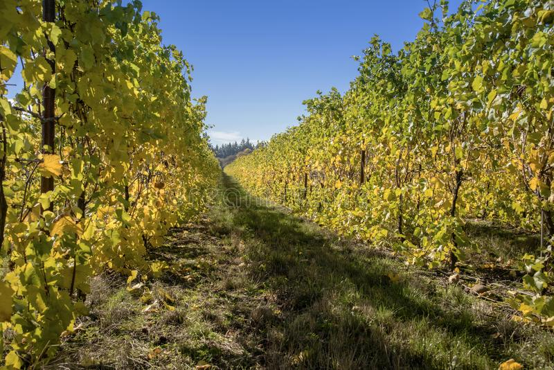 Country vines in the Willamette valley Oregon. Rows of vines after the harvest Willamette valley Oregon stock images