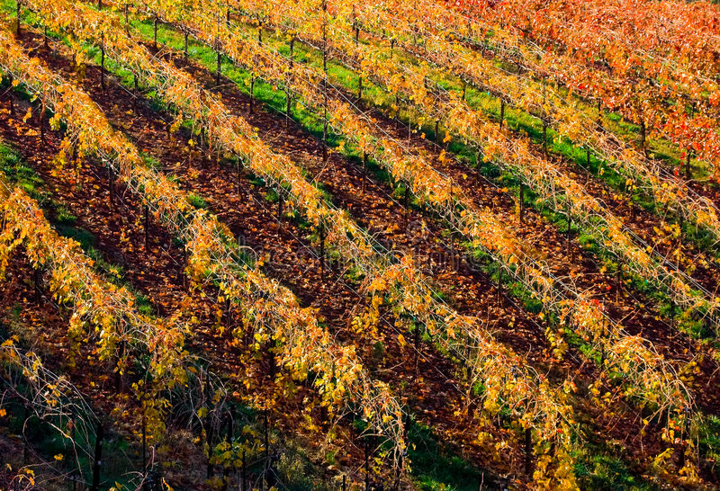 Download Rows of vineyard stock photo. Image of colors, landscape - 7512550