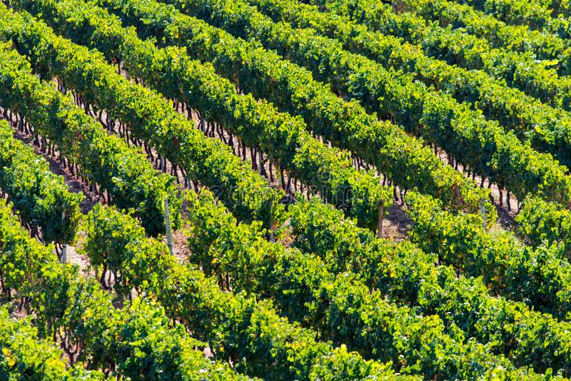 Rows of Vineyard Grape in Fall and Autumn Season. Landscape of Winery Farm Plantation,Taken before Sunset.  stock photos