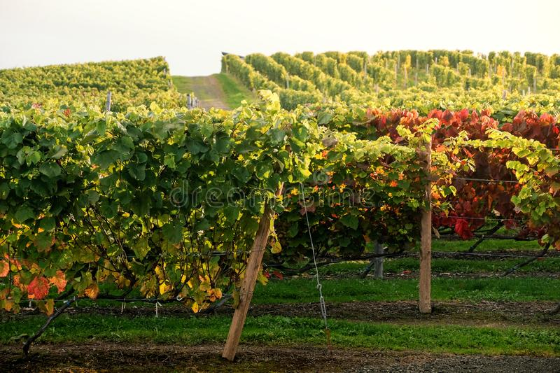 Rows of Vineyard Grape in Fall and Autumn Season. Landscape of Winery Farm Plantation stock photo