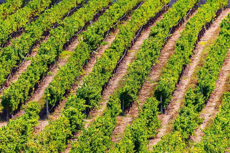 Rows of Vineyard Grape in Fall and Autumn Season. Landscape of Winery Farm Plantation,Taken before Sunset.  royalty free stock image
